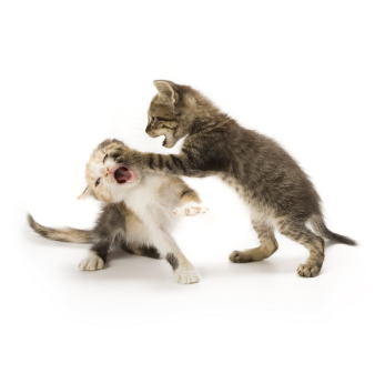 Preventing Re directed Aggression in Cats